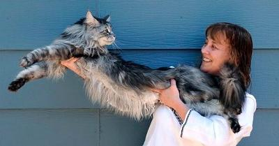 Stewie - Maine Coon cat - longest domestic cat