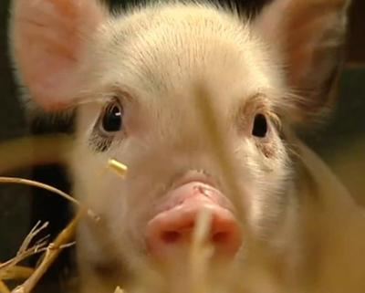 A micro pig. A still image from the video below by This is Genius ITN Extreme.