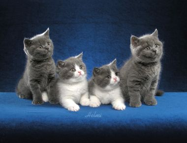 British Shorthair kittens - Photo copyright Helmi Flick