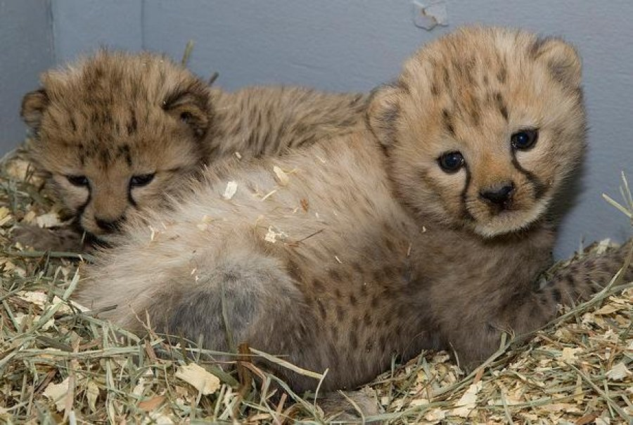 Cheetahs For Sale