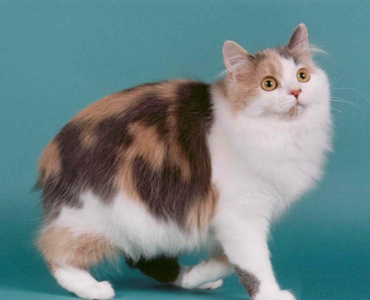 Cat Body Types - PoC