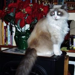 Ragdoll cat who had skin scabs alleviated with coconut oil