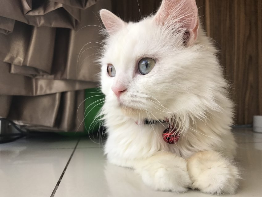 Fenty a Persian with sectoral heterochromia