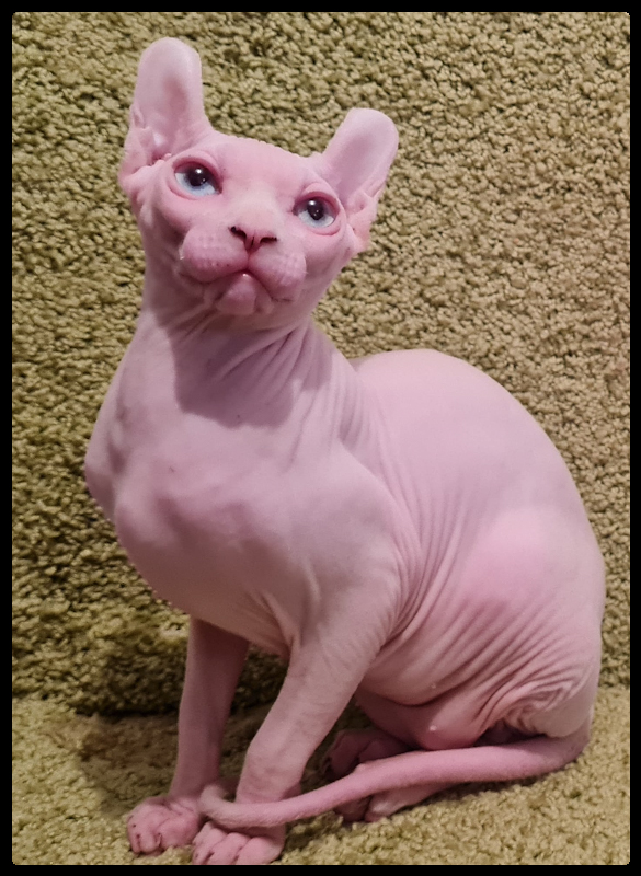 American Curl crossed with a Sphynx. The Elf cat.