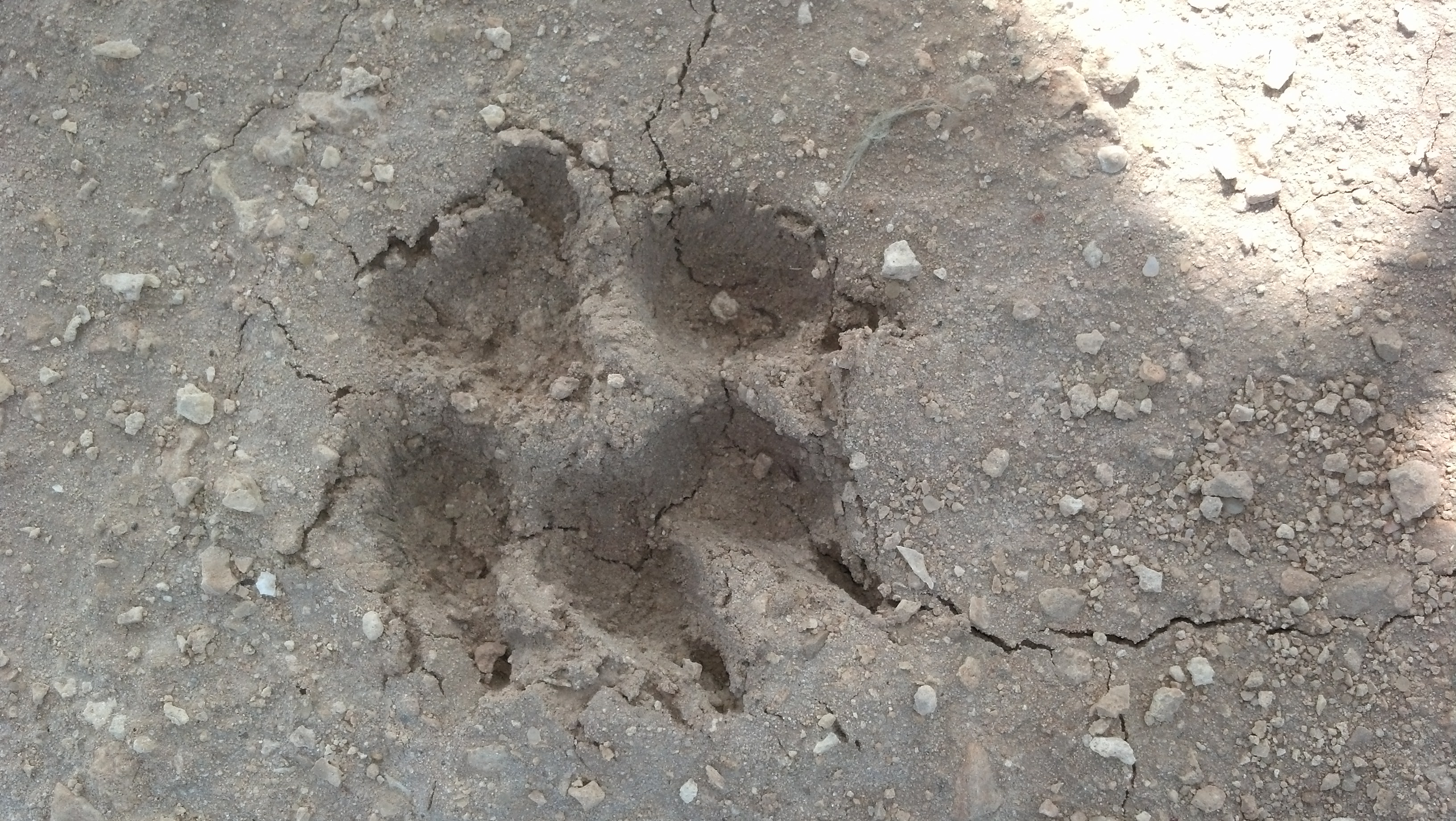 What does a coyote footprint look like 10