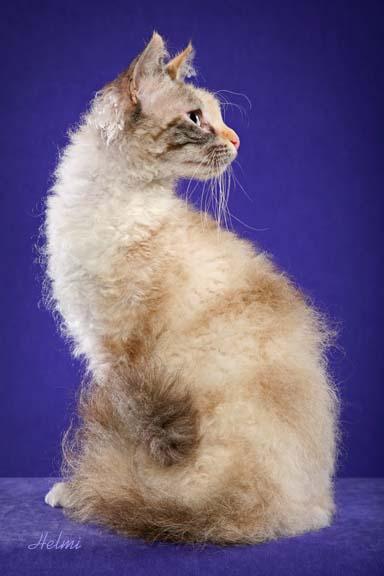 LaPerm cat Tippi