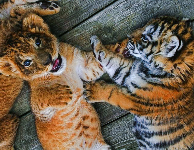 Lion and tiger cubs are best buddies