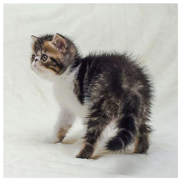 Male Exotic shorthair brown tabby-and-white
