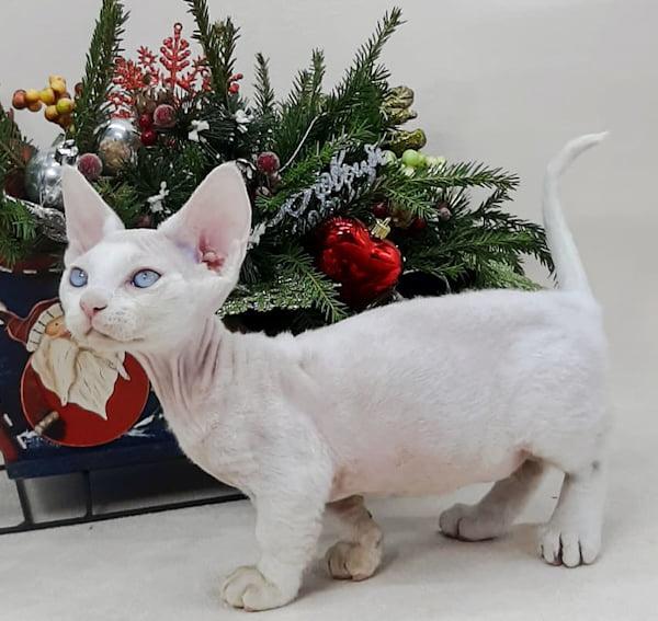 Minskin male cat from Russia