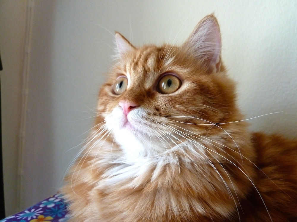 what is the best age to neuter a male cat