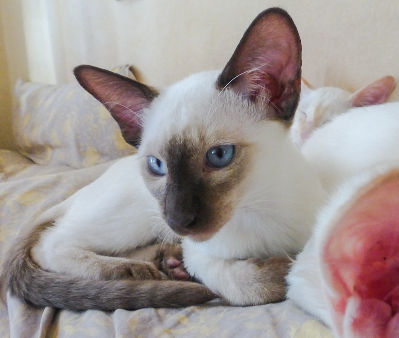 Pointed and angular head of the Siamese. Photo: Frangipani Balinese cattery.