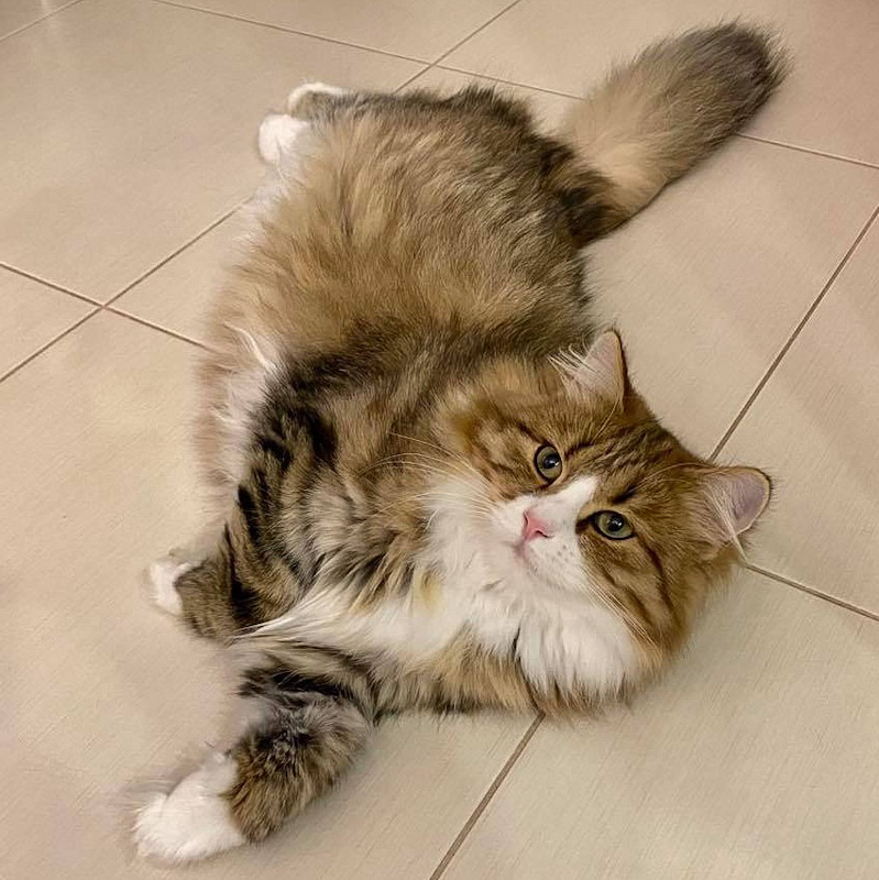 Siberian cat bred in Russia at the Golden Dream Cattery