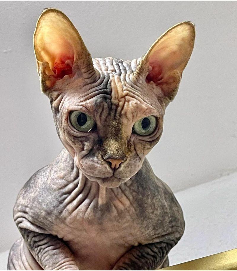 Sphynx from Russia bred and photographed by Dana Danilova Sphynx Cattery Dani Danati
