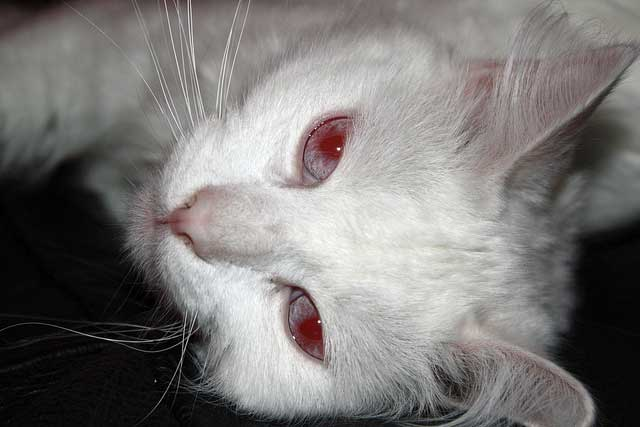 Albino Cat Eye Color