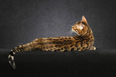 Bengal cat glitter coat
