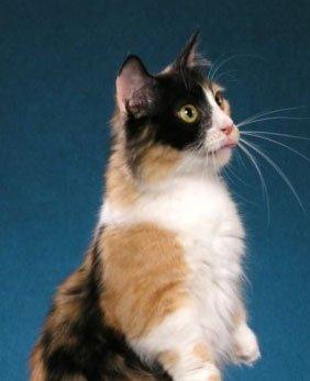 Munchkin cat Galadrial
