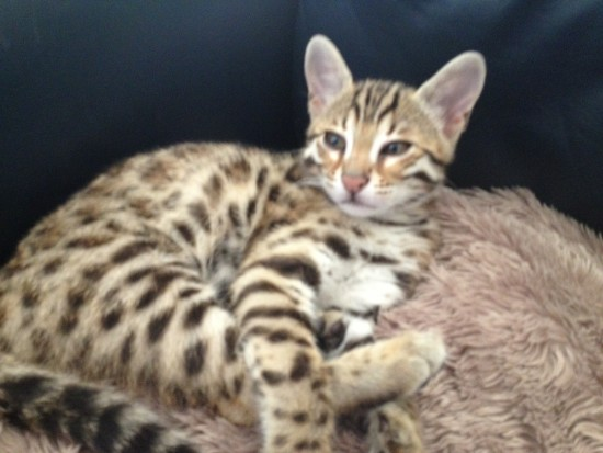 F1 First Fillial Bengal Cat