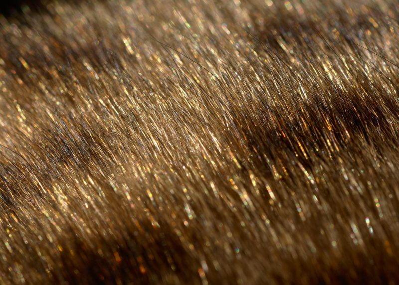 Bengal cat glitter