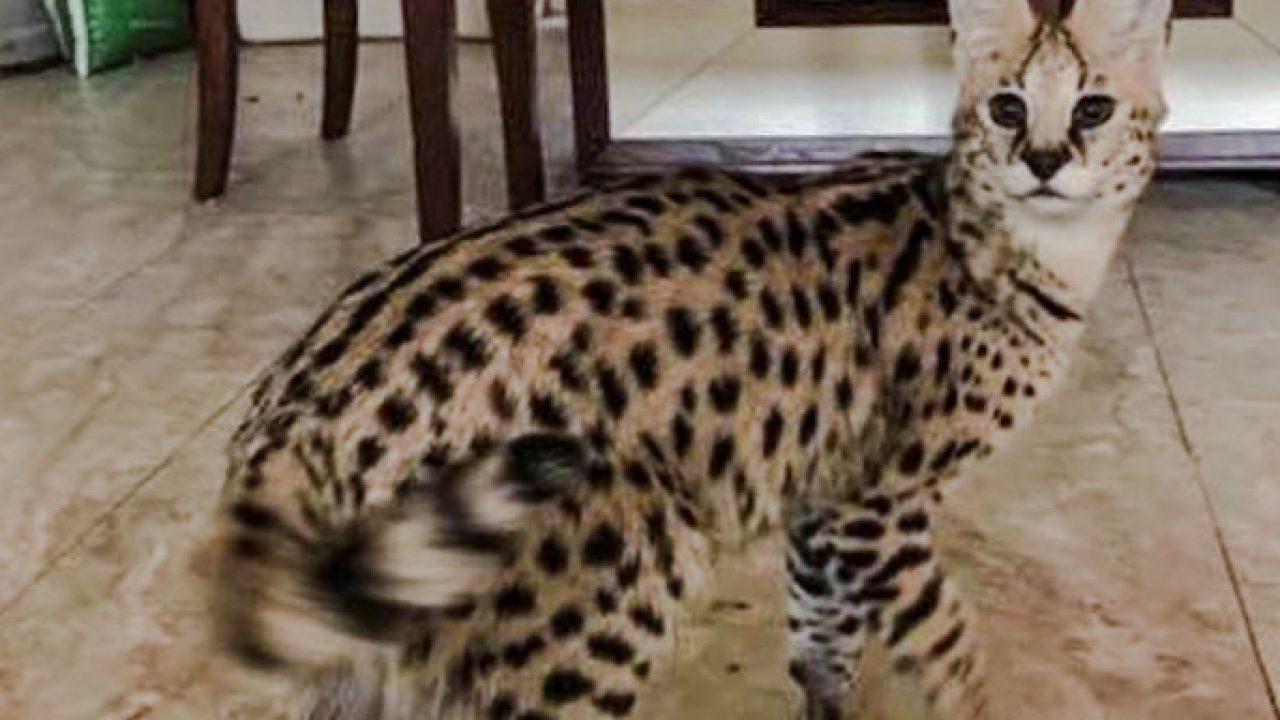 Serval Cat Escapes | PoC