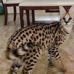 Serval cat escapes