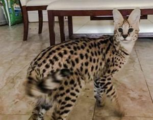 Serval cat escapes