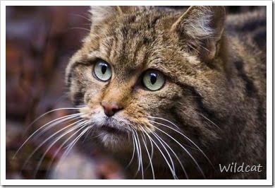 Wild Cat Species full list
