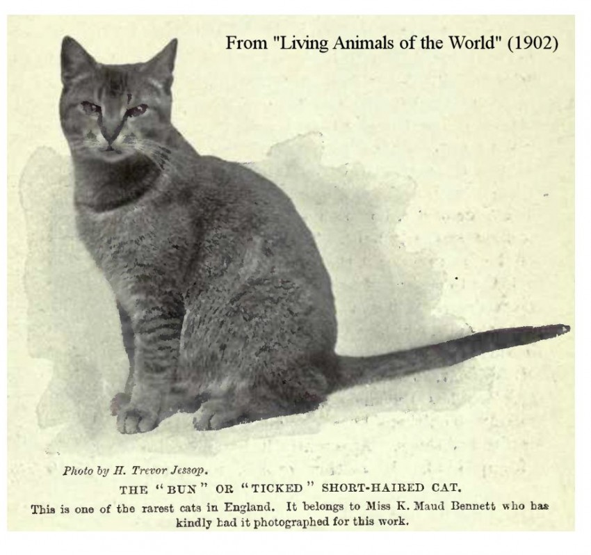1902 Abyssinian Cat - one of the rarest cats in England at 1902