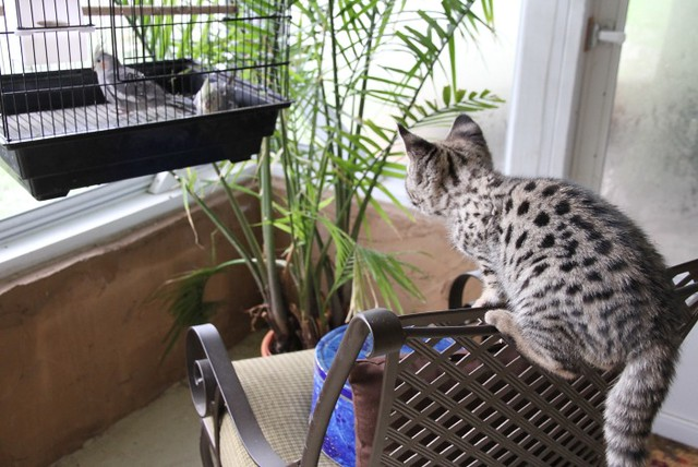 F1 Savannah cat wanting to hunt caged bird