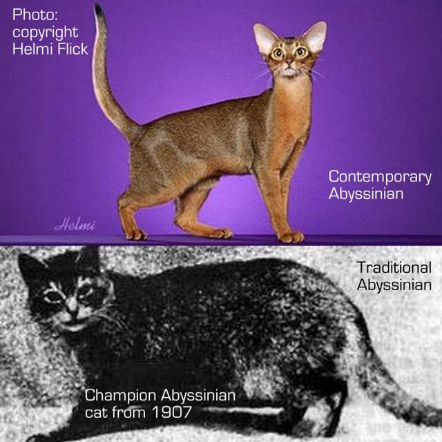Abyssinian cats traditional and modern