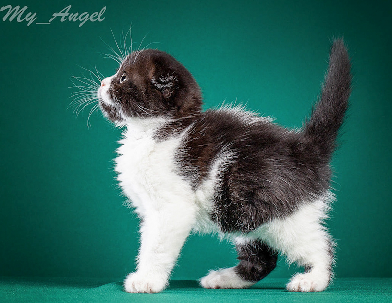 Black and white bicolor Scottish Fold kitten from Russia (Siberia)