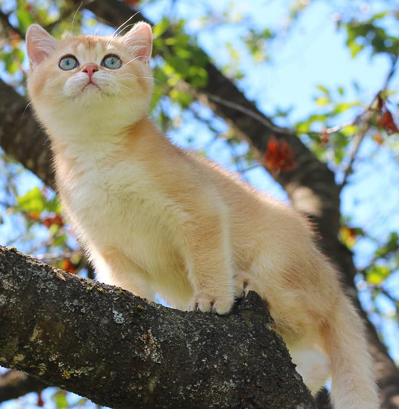 British Shorthair bred and photographed in Minsk Russia