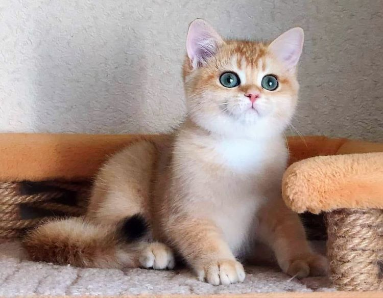 Female British Shorthair kitten bred in Russia by the Diabrimaris Cattery