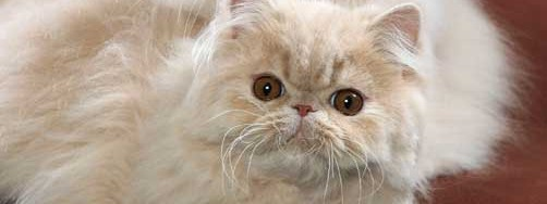 Foxy and Firey: 5-month-old Persian kittens