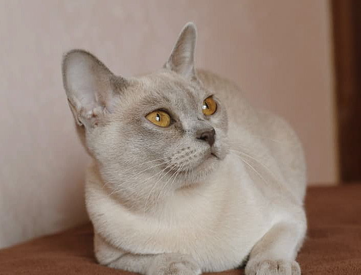 Lilac female European Burmese made in Moscow Russia
