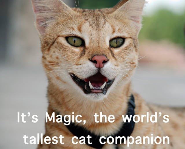 Magic F1 Savannah Cat