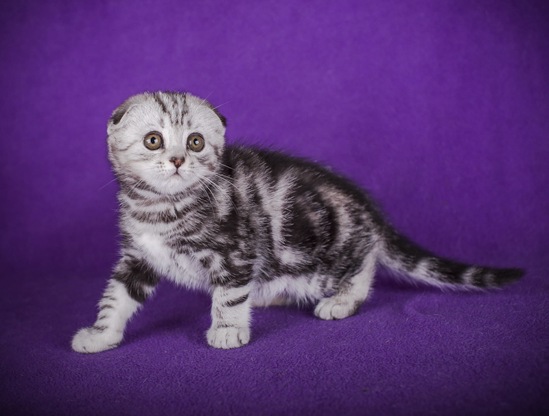 Silver classic tabby Scottish Fold kitten with a WOW appearance