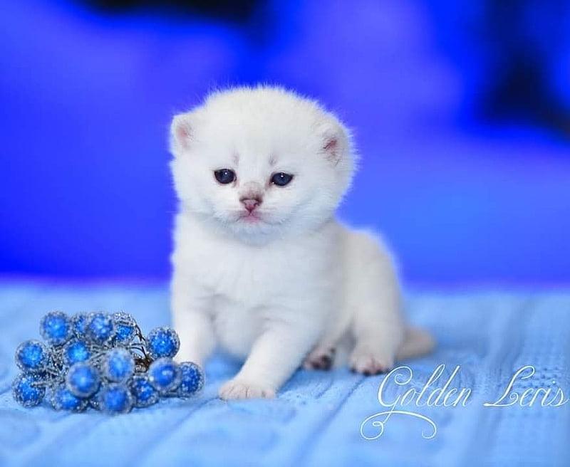 White British Shorthair kitten male from Russia
