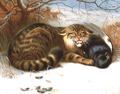Scottish Wildcat painting