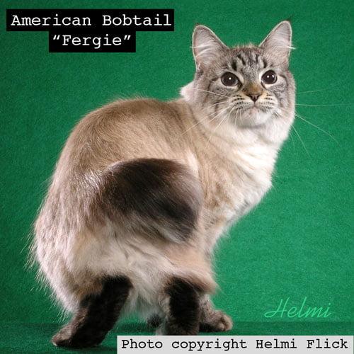 American Bobtail Fergie