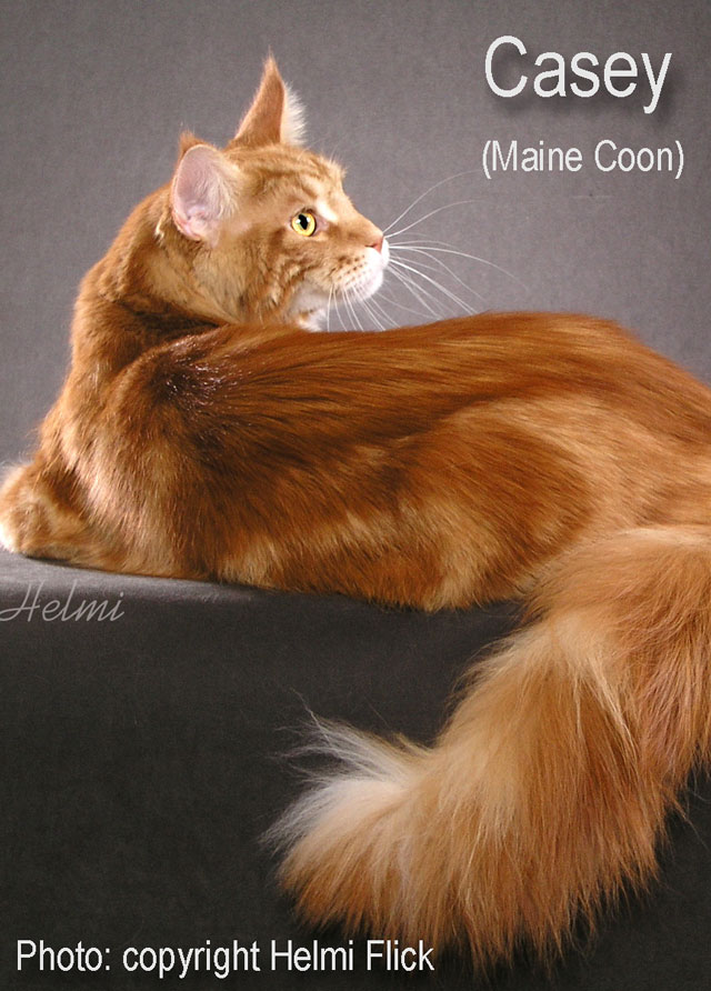 Casey Maine Coon