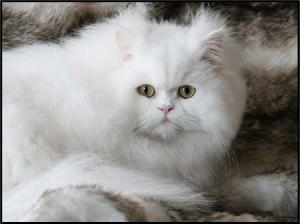 Traditional Persian Kristal Cristalline, orange eyed white
