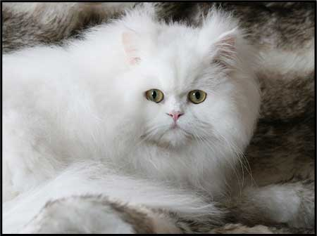 Traditional Persian Kristal Cristalline, orange eyed white