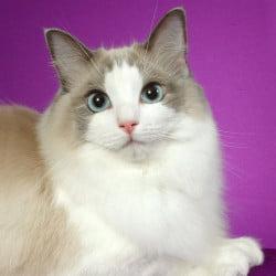 cuddly Ragdoll cat