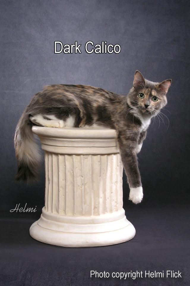 Dark Calico Cat