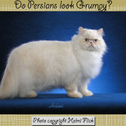 Do Persian cats look grumpy