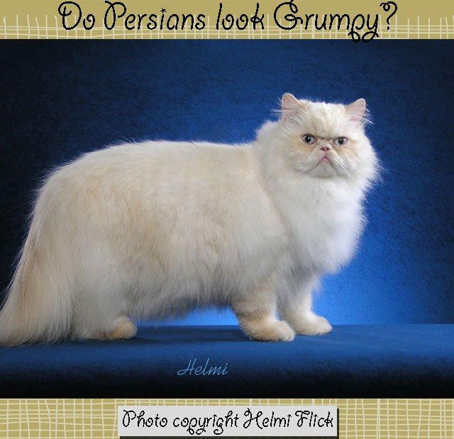 Do Persian cats look grumpy