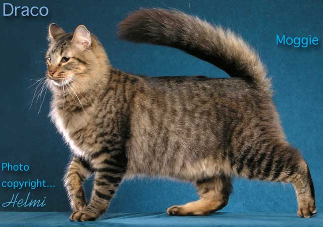Draco a glamorous moggie cat