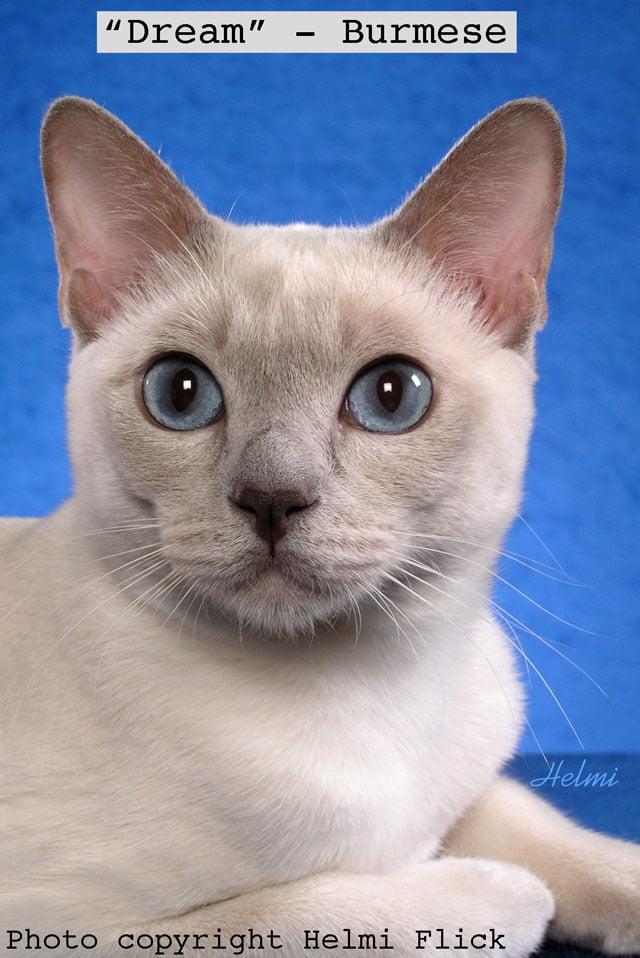 Dream a Burmese cat