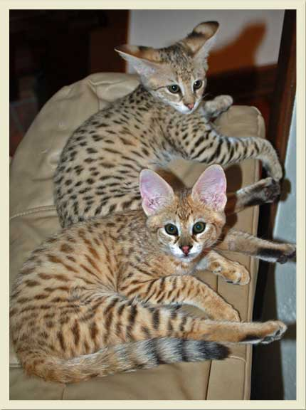 F1 Savannah cats