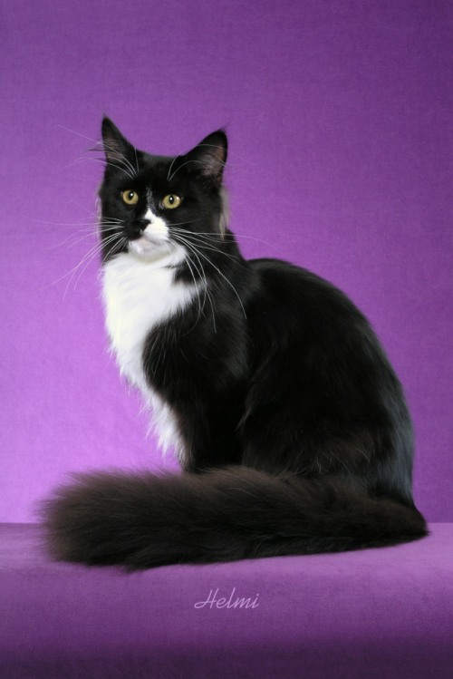 Random bred black and white cat photographed by Helmi Flick